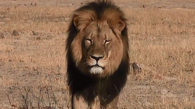 La mort de Cecil le lion massacré en Afrique